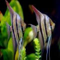 Pair of Angel Fish