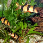 clown_loaches
