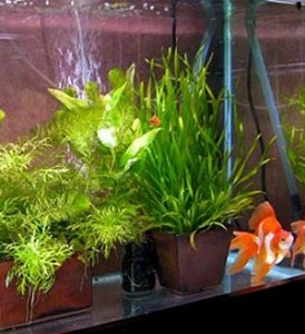 Bare bottom Goldfish tank