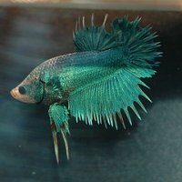 Turquoise Crowntail Betta Fish